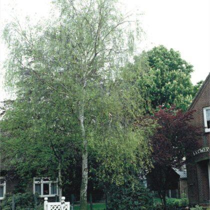 Brzoza brodawkowata 20-30cm c2,5 (Betula pendula)