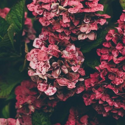 hortensja bukietowa wims red pbr