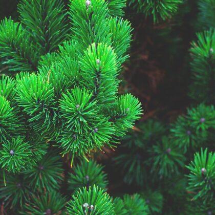 pine-1884335_1280