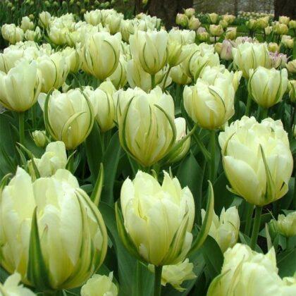 tulipan-exotic emperor