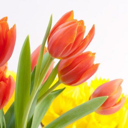 tulips-627359_1280